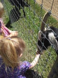 Linvilla feeding goats